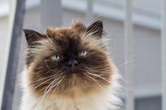 一只喜马拉雅猫的画象 免版税图库摄影