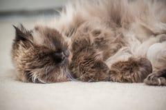 一只喜马拉雅猫的画象 库存图片