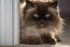一只喜马拉雅猫的画象 库存照片