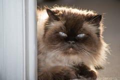 一只喜马拉雅猫的画象 免版税库存图片