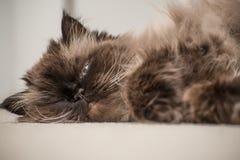 一只喜马拉雅猫的画象 图库摄影