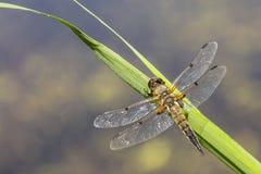 一只四被察觉的追赶者蜻蜓昆虫的特写镜头, Libellula qu 图库摄影