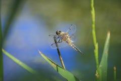 一只四被察觉的追赶者蜻蜓昆虫的特写镜头, Libellula qu 免版税库存照片