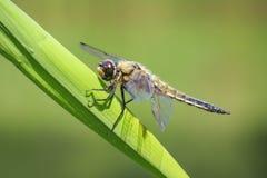 一只四被察觉的追赶者蜻蜓昆虫的特写镜头, Libellula qu 库存照片