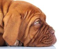 一只困哀伤的法国大型猛犬小狗的旁边特写镜头图片 免版税图库摄影