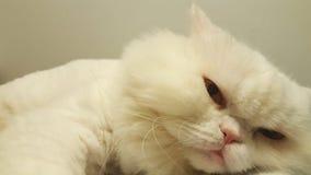 一只困白色波斯猫 图库摄影