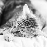 一只困,美丽的猫的黑白照片 库存照片