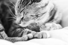 一只困,美丽的猫的黑白照片 免版税库存图片