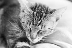 一只困,美丽的猫的黑白照片 库存图片
