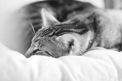 一只困,美丽的猫的黑白照片 免版税库存照片