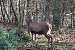 一只国王棕色雄鹿的特写镜头 免版税库存照片
