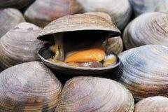 一只土气笑的蛤蜊 免版税图库摄影