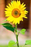一只土蜂的垂直的射击在向日葵的 免版税库存照片