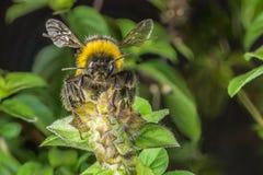 一只土蜂的特写镜头在蓬蒿开花的 图库摄影