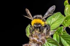 一只土蜂的特写镜头在蓬蒿开花的 免版税库存照片
