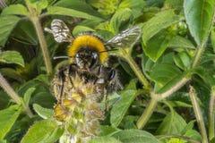 一只土蜂的特写镜头在蓬蒿开花的 免版税库存图片