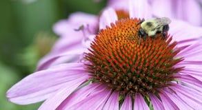 一只土蜂的特写镜头在海胆亚目花(海胆亚目purpure的 免版税图库摄影