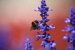 一只土蜂的特写镜头在紫色salvia的领域的 库存图片