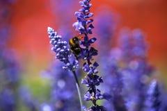 一只土蜂的特写镜头在紫色salvia的领域的 免版税图库摄影
