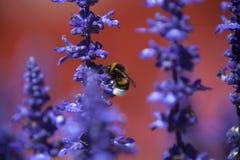 一只土蜂的特写镜头在紫色salvia的领域的 免版税库存图片