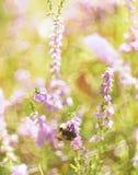 一只土蜂的艺术性的照片在野生石南花花的  库存图片