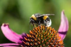 一只土蜂(熊蜂)的特写镜头在花 库存照片