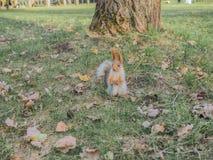 一只在公园附近的狂放的灰鼠奔跑 免版税库存照片