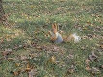 一只在公园附近的狂放的灰鼠奔跑 库存照片