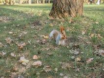一只在公园附近的狂放的灰鼠奔跑 图库摄影