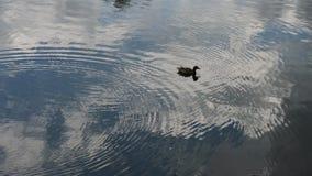 一只在湖附近的孤立灰色鸭子游泳 股票录像