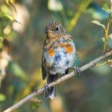 一只坐在秋天五颜六色的加尔德角的滑稽的小的鸟知更鸟 库存照片