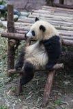 一只坐的熊猫 免版税库存照片