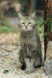 一只坐的野猫的画象 图库摄影