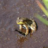 一只坐的青蛙用在左手的一根棍子 免版税库存照片