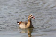 一只埃及人尼罗鹅画象alopochen aegyptiaca swimm 库存照片