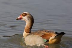 一只埃及人尼罗鹅画象alopochen aegyptiaca swimm 免版税库存照片