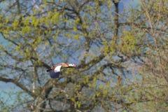一只埃及人尼罗鹅alopochen在飞行中aegyptiaca,树, 免版税库存照片