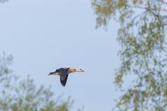 一只埃及人尼罗鹅alopochen aegyptiaca飞行,树, bl 库存图片