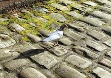 一只城市鸽子在曼彻斯特,英国 库存照片