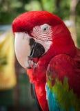 一只多彩多姿的鹦鹉的画象,酸值苏梅岛,泰国 免版税库存照片