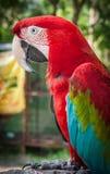 一只多彩多姿的鹦鹉的画象,酸值苏梅岛,泰国 库存照片