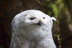 一只多雪的猫头鹰腹股沟淋巴肿块scandiacus鸷的特写镜头画象 库存图片