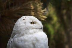 一只多雪的猫头鹰腹股沟淋巴肿块scandiacus鸷的特写镜头画象 库存照片