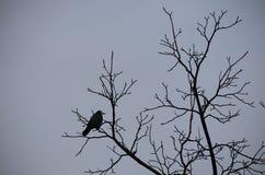 一只大乌鸦的剪影在树的 免版税库存图片