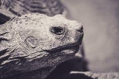 一只大乌龟的画象 库存图片
