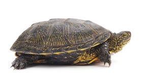 一只大乌龟 库存照片