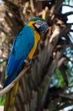 一只大五颜六色的鹦鹉 库存照片