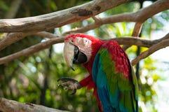 一只大五颜六色的鹦鹉 库存图片