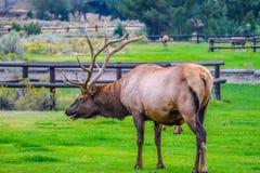 一只大公牛麋在黄石国家公园,怀俄明 免版税库存图片