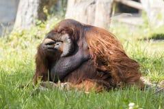 一只大公猩猩橙色猴子的图象在草的 库存图片